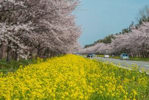 秋田県大潟村 桜並木と菜の花ロード見学