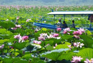 伊豆沼はすの花を楽しむ