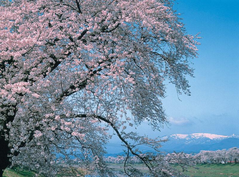 大河原町 桜 「写真提供:宮城県観光課」