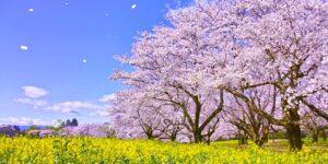 ファミリー観光 募集旅行 桜並木と菜の花ロード