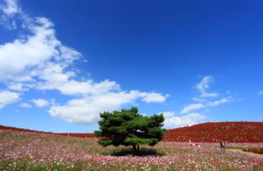※中止※【茨城】みはらしの丘紅葉のコキア見学の旅